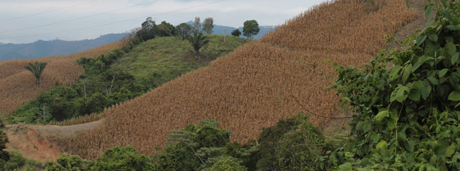 cosecha-del-maiz